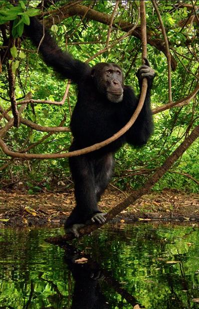 frans-lanting-chimpansee-senegal